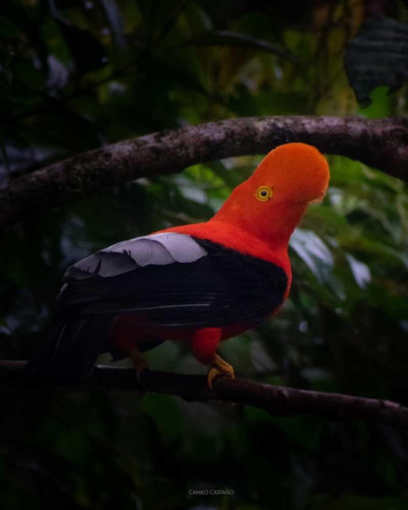 Andean Cock-of-the-Rock (<i>Rupicula peruviana</i>)