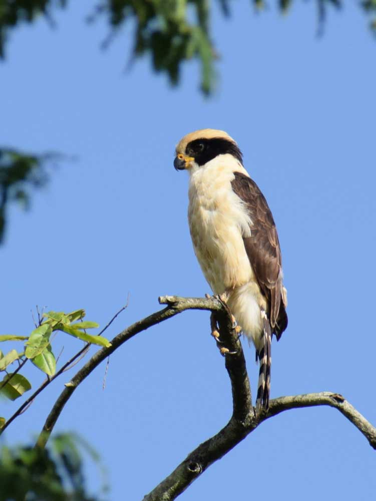 Laughing Falcon (<i>Herpetoteres cachinans</i>) (Puerto Torres)