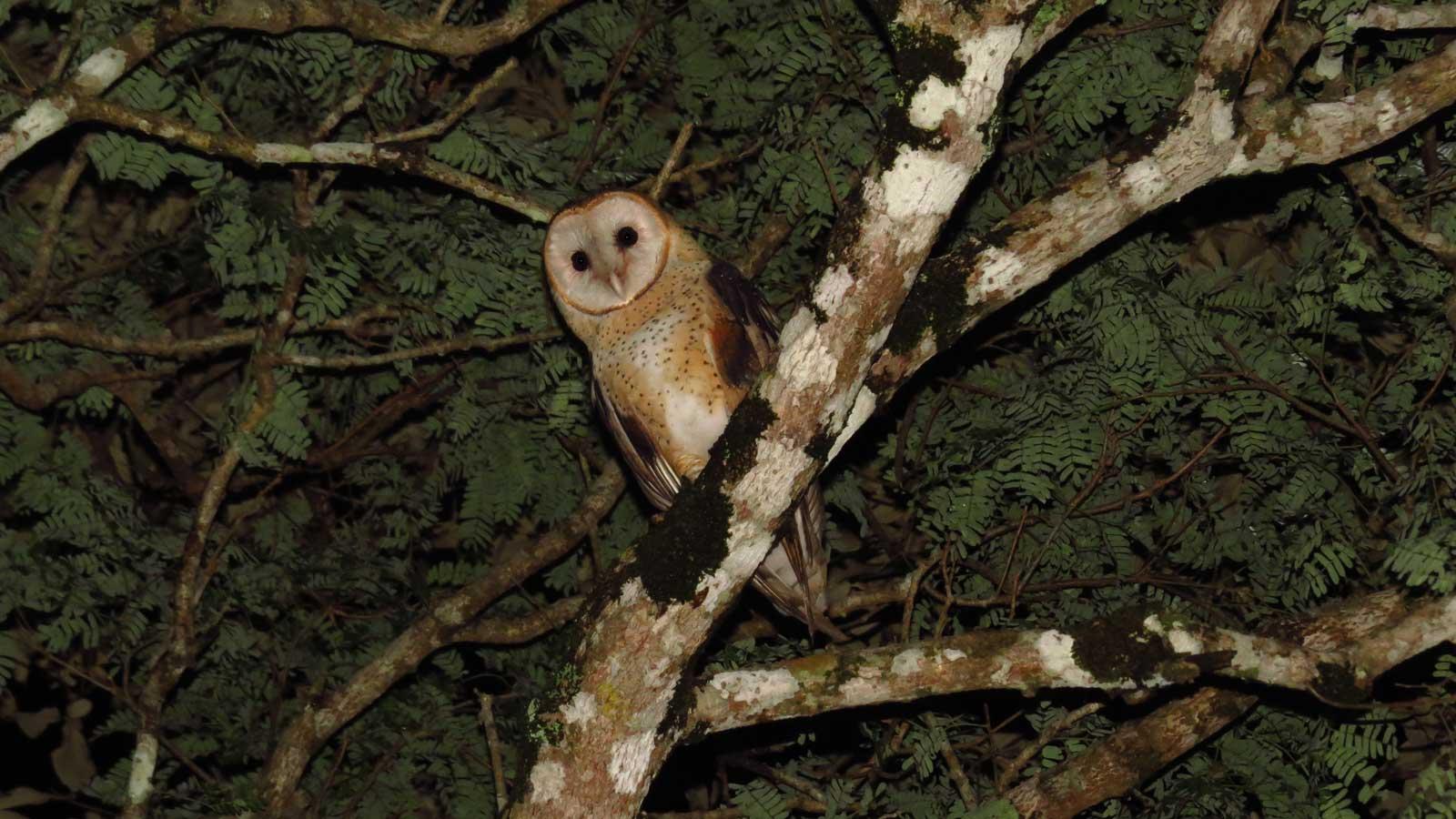 Owl (<i>Tyto alba</i>)