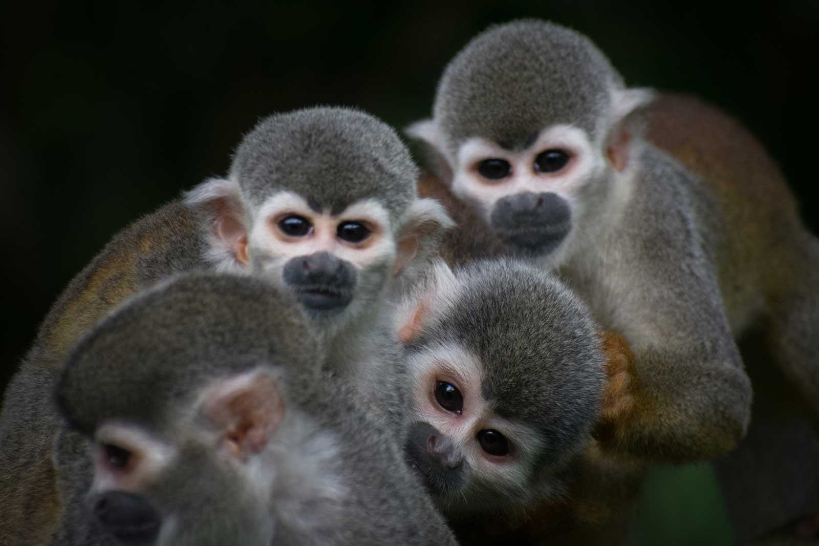 Marmoset monkey or squirrel monkey (<i>Saimiri cassiquiarensis</i>)
